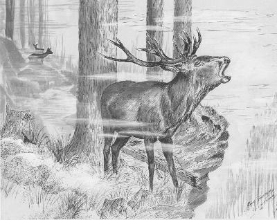 Dessin représentant un cerf en plein brame.